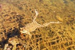 Sexe de Froggy Photo libre de droits