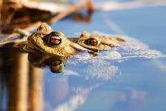 Sexe de Froggy Images stock