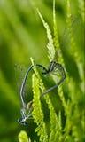 Sexe de libellule bleue jaune sauvage Photographie stock libre de droits
