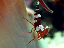 sexig räkathor för amboinensis Arkivfoton