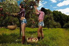 Sexiga kvinnor som väljer äpplen Arkivbilder