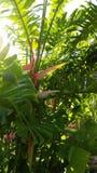 Sexiga rosa Heliconia fotografering för bildbyråer