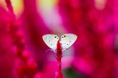 Sexo da borboleta Fotografia de Stock