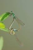 Sexo de la libélula Foto de archivo libre de regalías