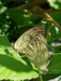 Sexo de la mariposa Fotografía de archivo