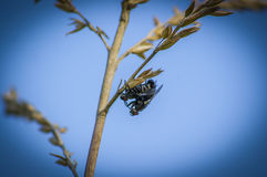 Sexo de la mosca Foto de archivo