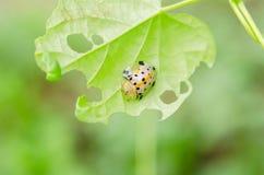 Sexpunctata Charidotella на зеленых листьях Стоковые Изображения