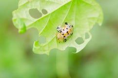 Sexpunctata Charidotella на зеленых листьях Стоковое Изображение