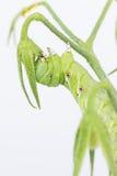 Sexta van tabaks hornworm Manduca Stock Afbeelding
