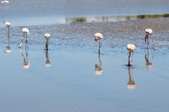 Sextet of foraging flamingos in the Camargue, France stock photos