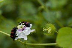 Sexton or burying beetle Royalty Free Stock Image