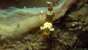Sexy Anemone Shrimp Thor-amboinensis en Prachtige magnificus van Ancylomenes van anemoongarnalen op anemoon in Lembeh-Straat stock footage