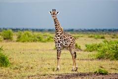 Sexy Giraffenaufstellung Stockfotografie