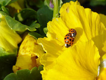 Sexy Ladybugs. Two ladybugs mating on a yellow flower Royalty Free Stock Images