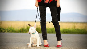 Sexy legs with sweet bull terrier puppy Stock Photo
