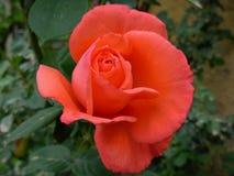 Orange Rose. Shape of an Orange rose stock image