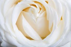 White rose. Extreme close up of a white rose. Shallow DOF with main focus on the center of the rose Stock Photography