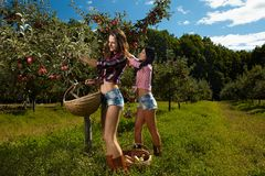 Sexy women picking apples Royalty Free Stock Image