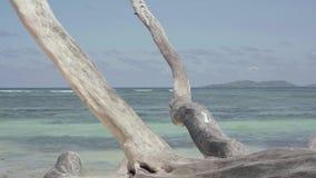 seychellen Praslineiland Leuke slanke aantrekkelijke jonge vrouw walkng op een droge boom die op het strand van een exotisch eila stock videobeelden