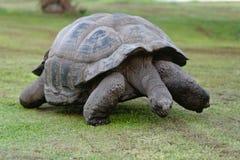 Seychellen-riesige Schildkröte Lizenzfreie Stockfotos