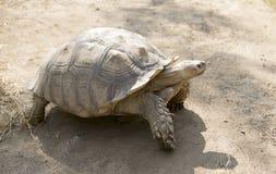Seychellen-riesige Schildkröte Stockfoto