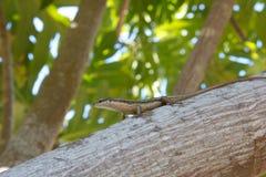 Seychellen Skink 1 Stockfotografie