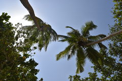 Seychellerna Mahé palmträd Royaltyfri Fotografi