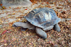Seychelles żółw na ziemi Obrazy Royalty Free