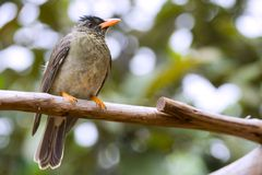 Seychelles Bulbul. (Hypsipetes crassirostris)-  one of the most common bird species on Seychelles islands Royalty Free Stock Photos