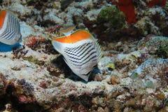 Seychelles butterflyfish fotografia stock