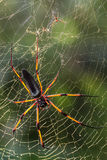 Seychelles endemic spider species. Nephila inaurata on a web stock photography
