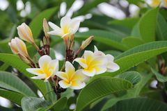 Seychelles flowers white-yellow with green background Stock Photography