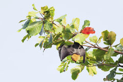 Seychelles flying fox hanging on a branch Royalty Free Stock Images