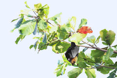 Seychelles flying fox hanging on a branch Royalty Free Stock Photography