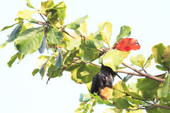 Seychelles flying fox hanging on a branch Stock Images