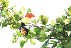 Seychelles flying fox hanging on a branch and Royalty Free Stock Photo