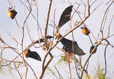 Seychelles fruit bat. S or flying foxes (species: Pteropus seychellensis seychellensis) at rest in a casuarina tree on Grand Anse, Fregate Island royalty free stock image