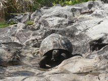 Seychelles Giant Tortoise. A Giant Tortoise amongst the rocks on a Seycelles beach turtle saddle shell indian ocean home armour stock images
