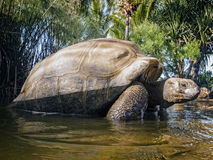 Seychelles Giant tortoise. Aldabra Giant Tortoise (Aldabrachelys gigantea), Cousin island, Seychelles, Africa Royalty Free Stock Photography