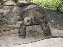Seychelles Giant tortoise Stock Image