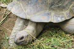 Seychelles Giant Tortoise (Aldabrachelys, Dispochelys) eating Stock Images