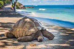 Seychelles giant tortoise Royalty Free Stock Image