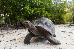 Giant tortoise on Curieuse Island royalty free stock image