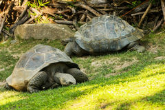 Seychelles giant tortoises (Aldabrachelys gigantea). A couple of Seychelles giant tortoises (Aldabrachelys gigantea) in the grass Royalty Free Stock Images