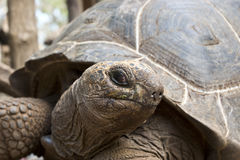 Seychelles giant turtle. A giant turtle from Seychelles Royalty Free Stock Photography