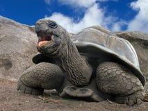 Seychelles Gigantyczny tortoise Obrazy Stock