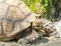 Seychelles gigantyczny tortoise lub Aldabrachelys gigantea Zdjęcie Stock