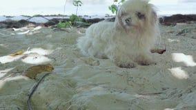 Seychelles Isla de Praslin Perro blanco mullido divertido lindo que descansa sobre la playa en el cierre de la arena para arriba