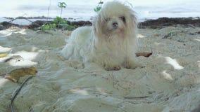 Seychelles Isla de Praslin Perro blanco mullido divertido lindo que miente en la playa en el cierre de la arena para arriba El an