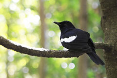 Seychelles magpie-robin Royalty Free Stock Images